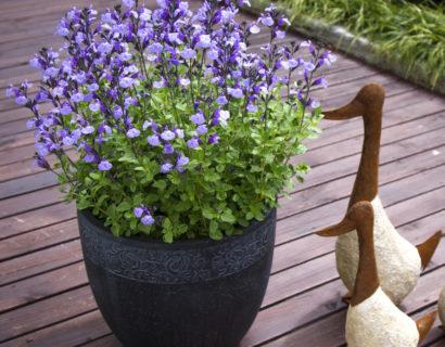 Salvia 'So Cool Pale Blue' (grote pot) - Salie