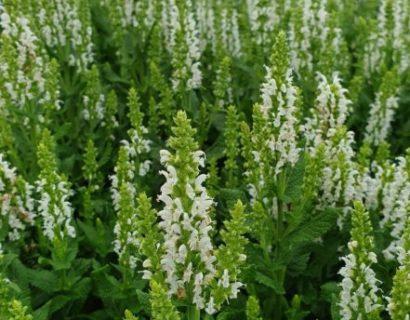 Salvia nemorosa 'Sensation White' - Salie