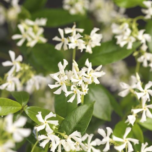 Trachelospermum jasminoides leivorm rek - Toscaanse jasmijn leivorm rek