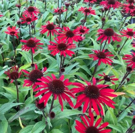 Echinacea 'Sunseekers Red' (grote pot) - Zonnehoed