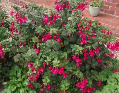 Fuchsia 'Riccartonii' (grote pot) - Bellenplant