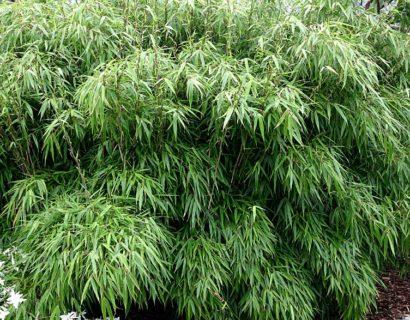 Fargesia 'Rufa' - Bamboe