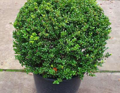 Ilex crenata 'Convexa' bolvorm - groene beuk