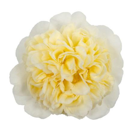 Camellia will. 'Jury's Yellow' - Camellia