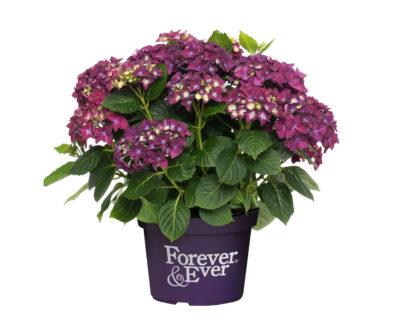 Hydrangea macrophylla 'Forever and Ever' paars
