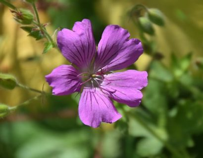 Geranium 'Sirak' (grote pot) - Ooievaarsbek
