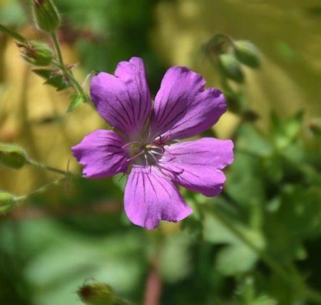 Geranium 'Sirak' pot 2 liter
