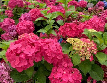 Hydrangea Endless Summer 'Summer Love' rood - Hortensia