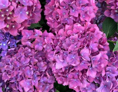 Hydrangea macrophylla 'Forever and Ever' paars - Hortensia