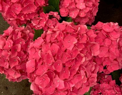 Hydrangea macrophylla 'Forever and Ever' rood - hortensia