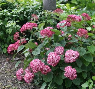 Hydrangea 'Ruby Annabelle' - Hortensia