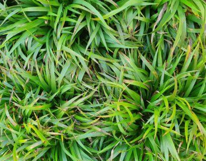 Luzula pilosa 'Igel' - Ruige veldbies