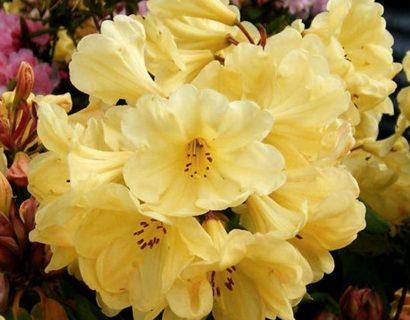Rhododendron 'Golden Wonder' pot 2 liter - Dwergrhododendron