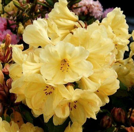 Rhododendron 'Golden Wonder' - Dwergrhododendron