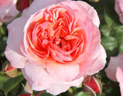 Rosa 'Eeuwige Passie' stam - Stamroos