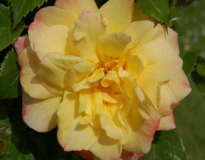 Rosa 'Moonlight' klim - Klimroos
