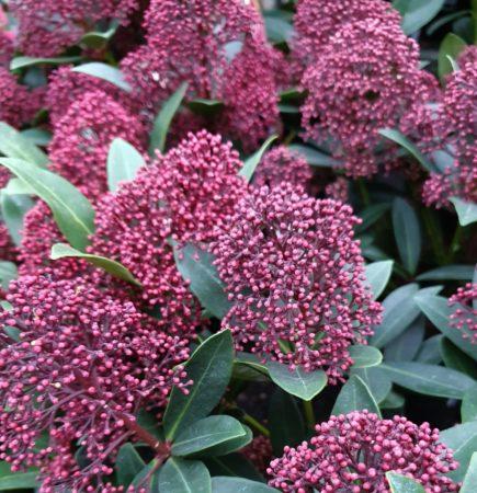 Skimmia japonica 'Rubesta' - Skimmia