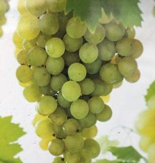 Vitis 'Fanny' - Witte druif
