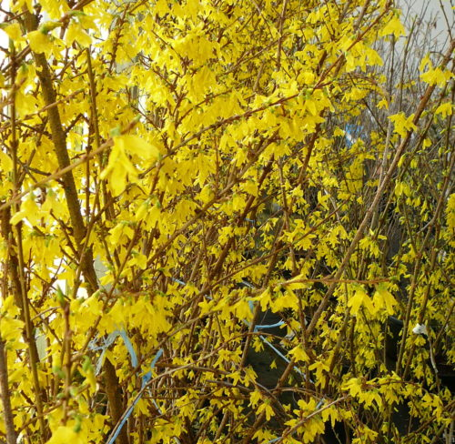 Forsythia 'Weekend' of 'Courtalyn' op stam - Chinees klokje
