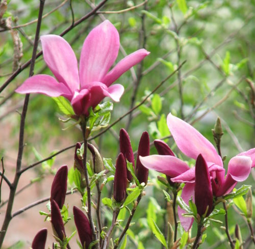 Magnolia 'Susan' op stam - Magnolia