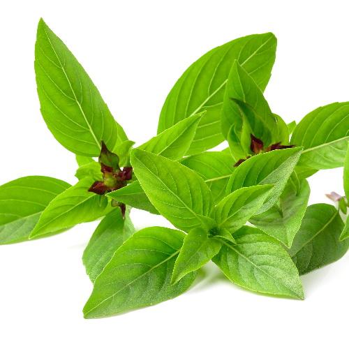 Thaise basilicum - Thaise basilicum