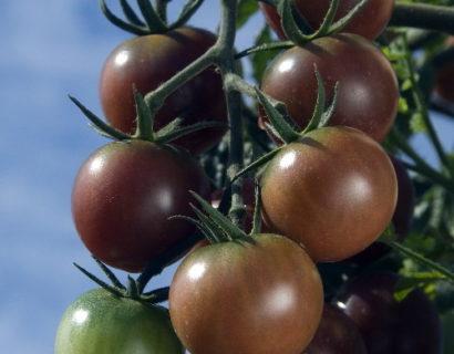 Black Cherry tomaat -