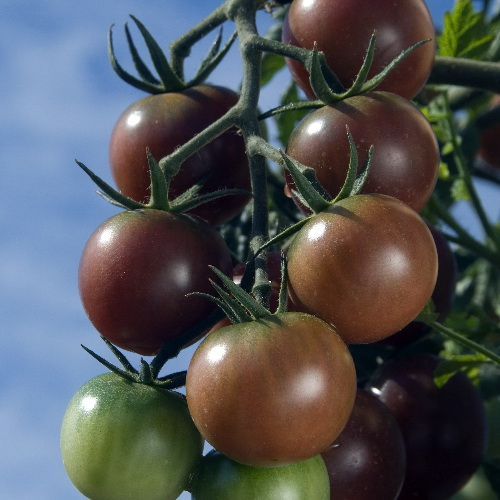 Black Cherry tomaat -