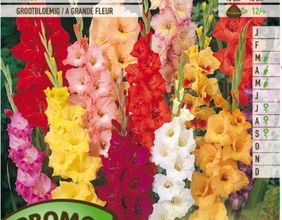 Gladiolus mix - Gladiolen
