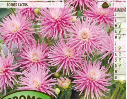 Dahlia 'Park Princess' - Cactusdahlia