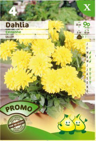 Dahlia 'Cezanne' - Dahlia