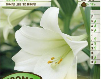 Lilium longiflorum - Trompetlelie
