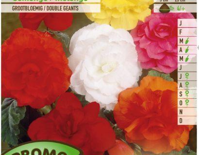 Begonia mix - Begonia