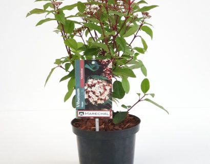 Viburnum tinus 'Gwenllian' pot 2 liter - sneeuwbal