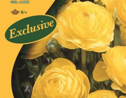 Ranunculus geel - Ranonkel