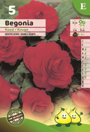 Begonia rood - Begonia