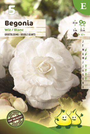 Begonia wit - Begonia