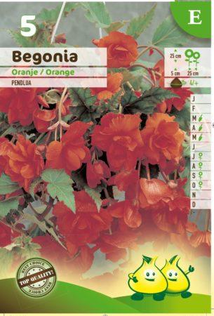 Begonia pendula oranje - Begonia