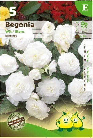 Begonia multiflora - Begonia