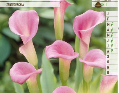 Calla roze - Aronskelk