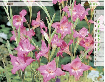Gladiolus nanus 'Charm' - Gladiool