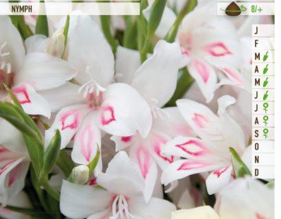 Gladiolus nanus 'Nymph' - Gladiool