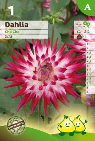 Dahlia 'Cha Cha' - Dahlia