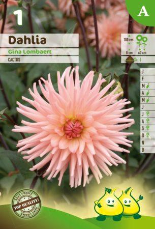 Dahlia 'Gina Lombaert' - Dahlia