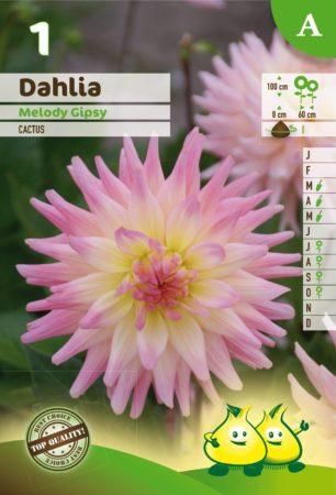 Dahlia 'Melody Gipsy' - Dahlia