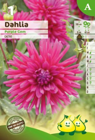 Dahlia 'Purple Gem' - Dahlia