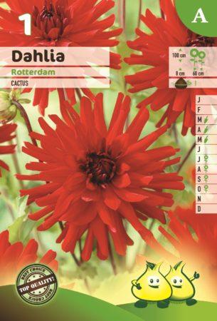 Dahlia 'Rotterdam' - Dahlia