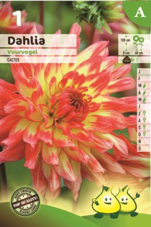 Dahlia 'Vuurvogel' - Dahlia