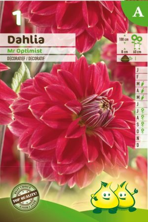 Dahlia 'Mr Optimist' - Dahlia