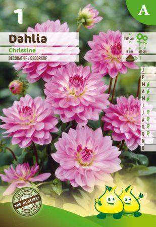 Dahlia 'Christine' - Dahlia