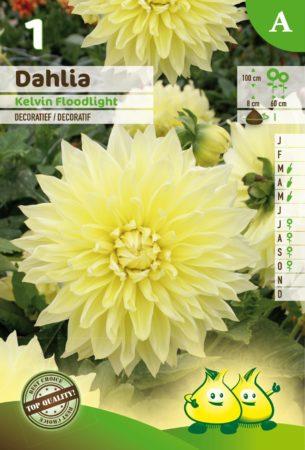 Dahlia 'Kelvin Floodlight' - Dahlia